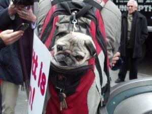 Sake the pug protesting Mitt Romney outside Madison Square Garden. (Photo: Hunter Walker)