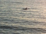 The photo of the dolphin on the Hudson (Jennifer Parker, via DNAInfo.com)