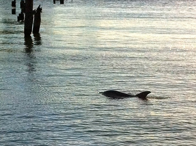 New York Dolphin Died As it Lived: On the Hudson River