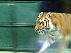 Man Enters Tiger Den at the Bronx Zoo, the Inevitable Occurs