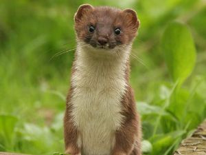 Facebook says: Vote vote vote, like a baby stoat. (Photo: Cute Overload)