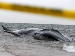 The beached whale struggling in the water near the shore in Breezy Point yesterday. (Photo: Getty)