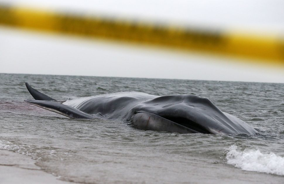 Whale Beached in Breezy Point Presumed Dead