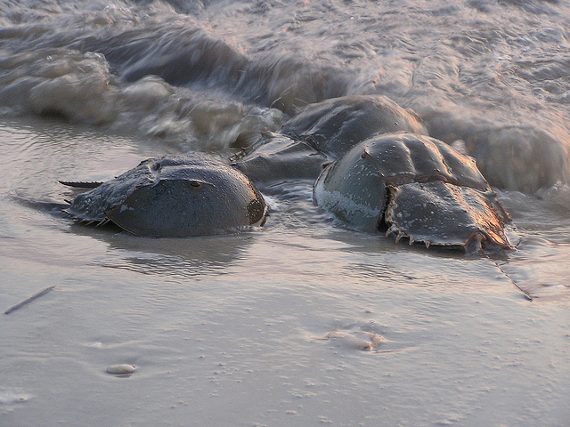 What on Earth Do You Need 200 Horseshoe Crabs For?