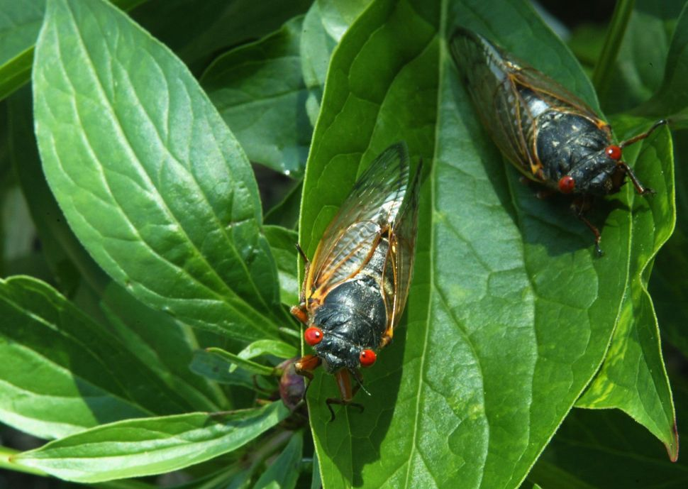The Cicadas Are Coming! The Cicadas Are Here! Staten Island Officially Invaded