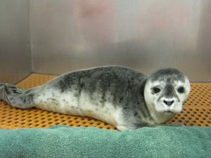 Penny, a rescued harbor seal pup. (Riverhead Foundation for Research and Preservation).