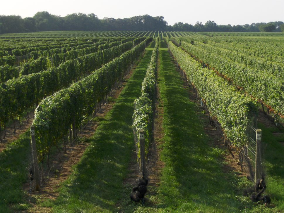Long Island Wines Worth Hunting For