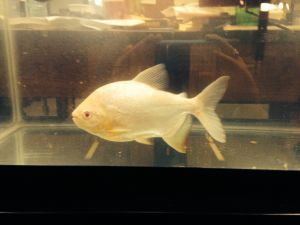 Pacu, the testicle-eating fish