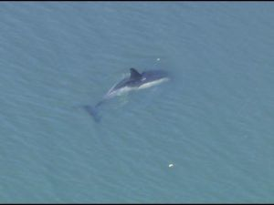 Coney Island dolphin. (Fox5)