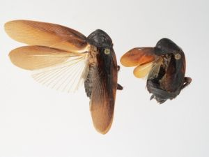 Cold-resistant cockroaches thrive in New York City's chilly weather. (University of Florida)