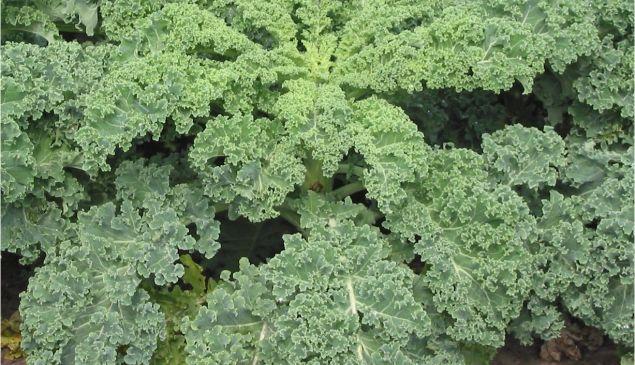 Killer kale. (Wikipedia)