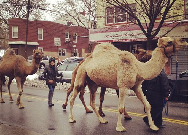 Brooklyn Had Camels Before They Were Cool