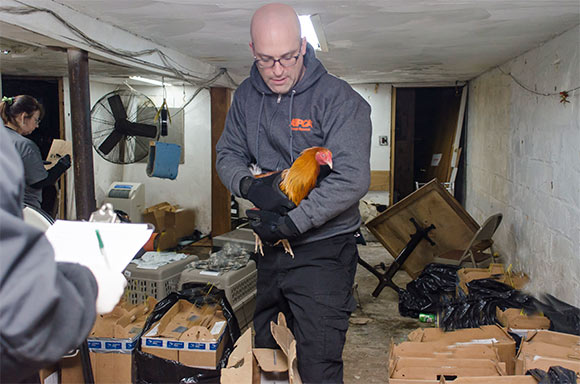 'Operation Angry Birds' Rescues 3,000 Roosters in NY State's Largest Cock-Fighting Bust