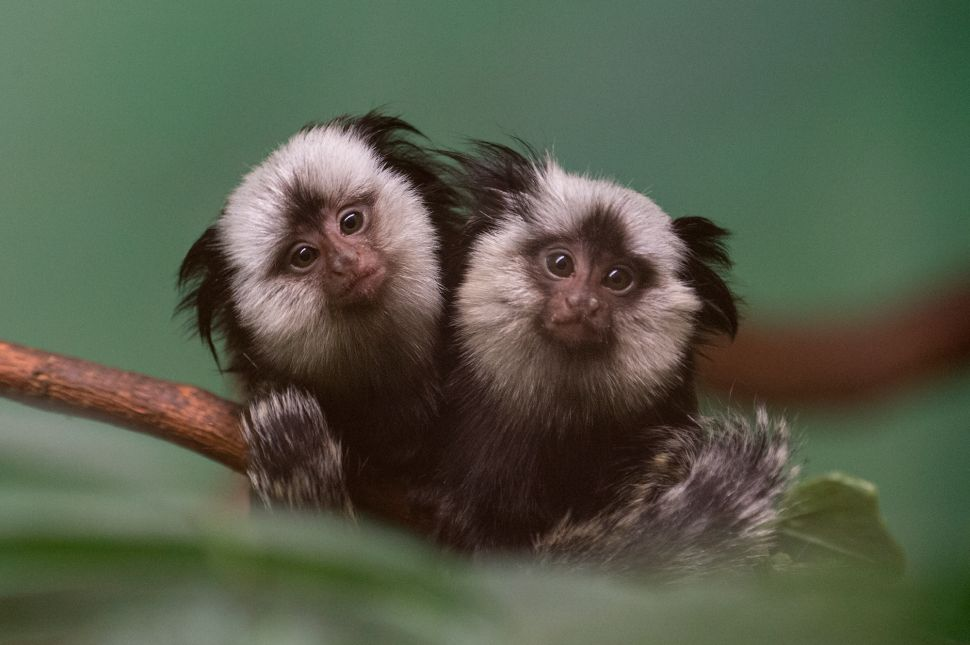 Twinsies! Prospect Park Zoo Debuts Too-Cute Marmosets