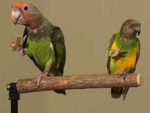 Truman (left) shares a perch with Kili, a Senegal Parrot (YouTube).