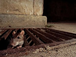 The rat squad is targeting sewers, parks, and subways. (BSIP/Getty Images)