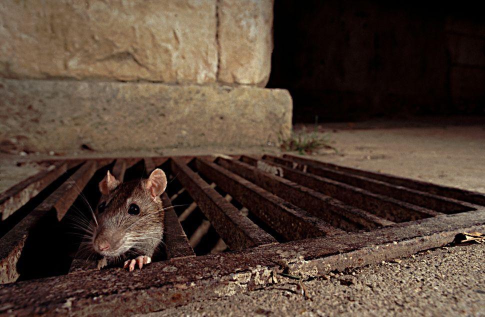 Rat Race: City Targets Rodent 'Reservoirs'