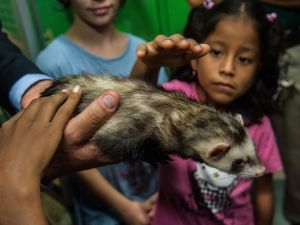 A ferret. (Photo: Giorgio Cosulich/Getty Images)