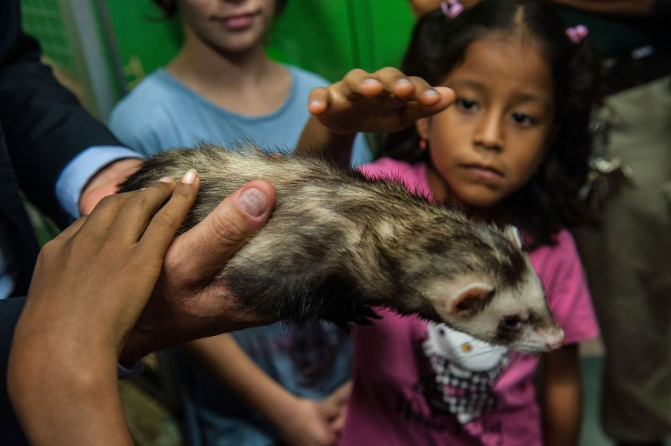 Bill de Blasio 'Comfortable' With Ferret Ban Remaining in Place
