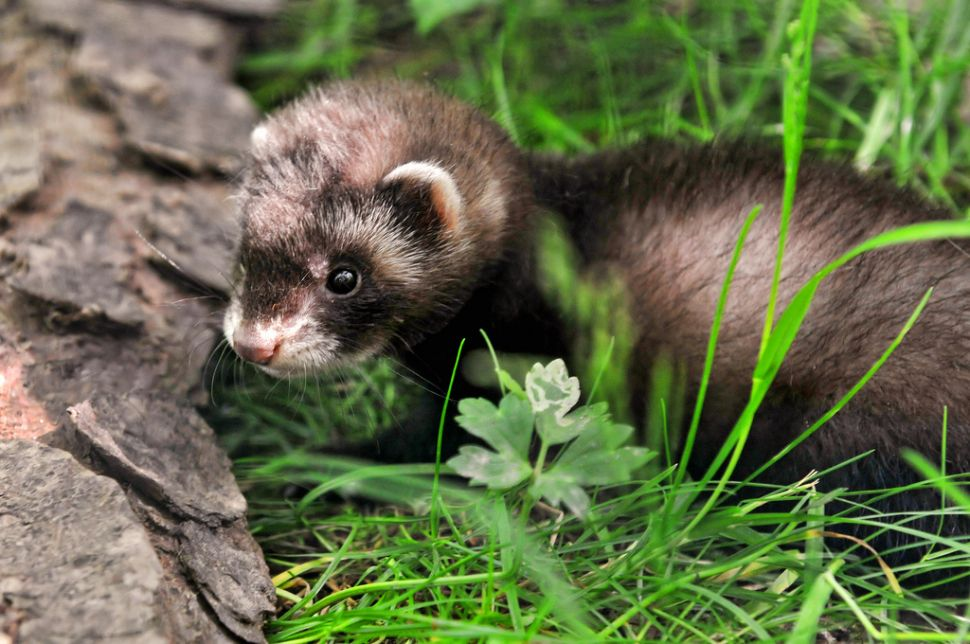 Ferrets to Weasel Their Way Back Into New York