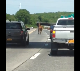 Runaway Pony Stirrups Some Memorial Day Traffic in Westchester