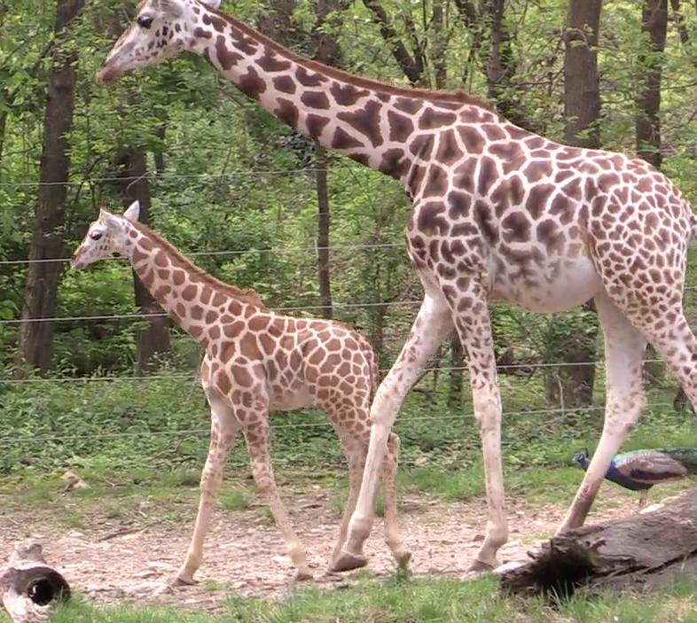 Aww Alert: Bronx Zoo Welcomes Baby Giraffe