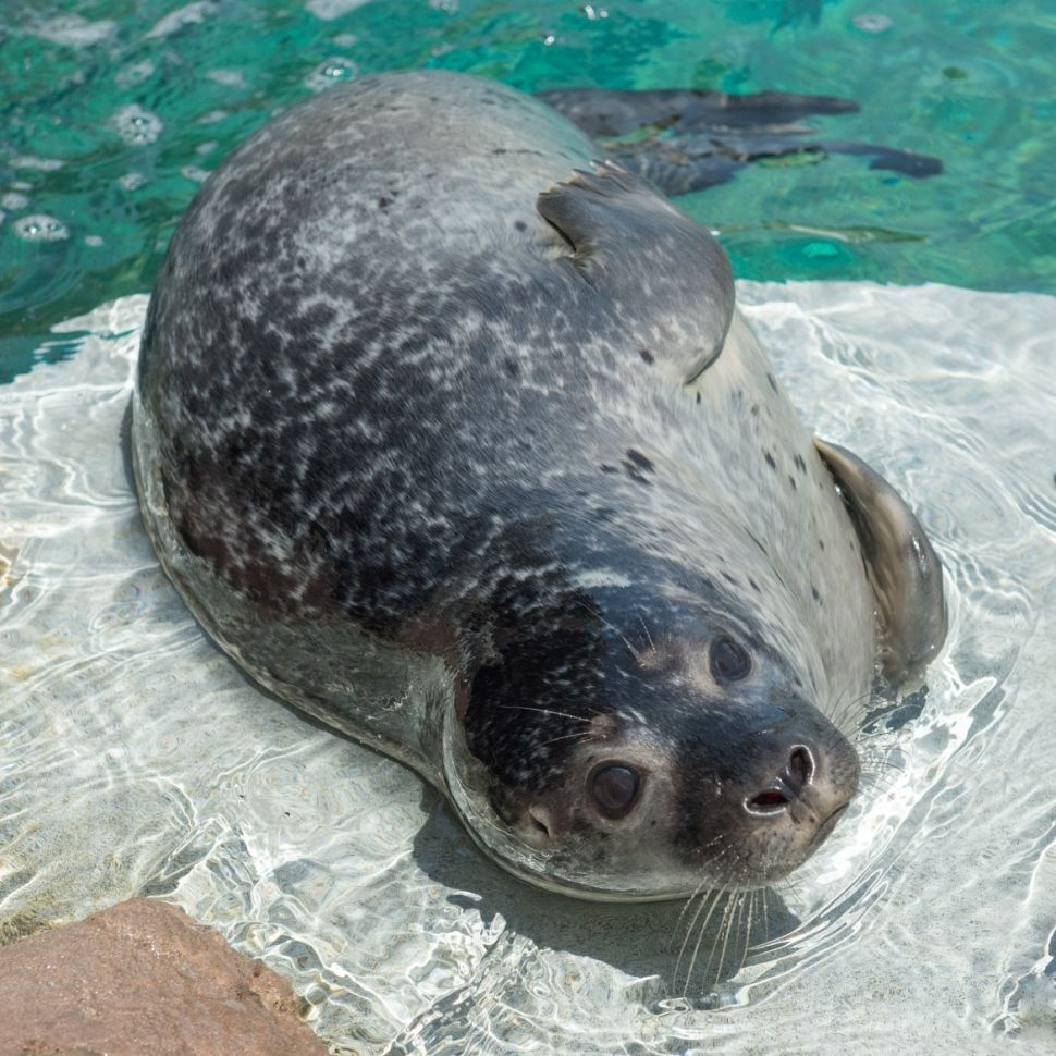 New York Aquarium Gets Its Very Own Seal Pup
