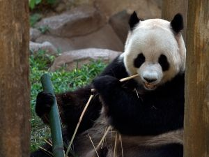 New York City might get its own giant panda, like the one above. (Photo by MANAN VATSYAYANA/AFP/Getty Images)
