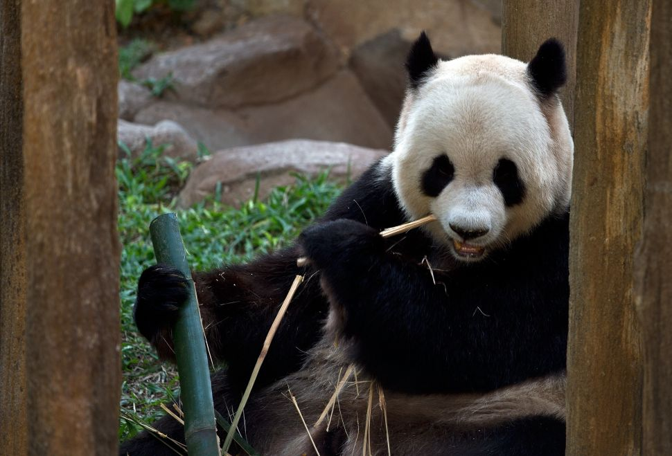 Wild Gift: Giant Pandas Coming to Central Park Zoo?