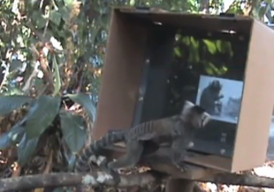 Monkeys Have Their Own Version of YouTube Where They Teach Each Other Tricks