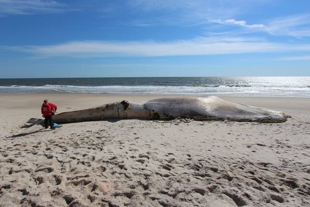 """""""Vessel"""" May Have Killed 58 Foot Long Whale Found on Long Island Beach"""