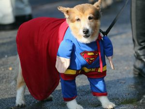 Dogs will parade in costume at (Photo via Getty Images)