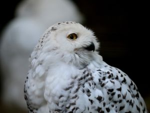 This winter's frigid temperaturs have drawn Snowy Owls to New York (Photo: Getty).
