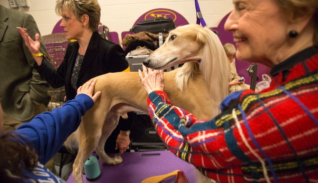 A Saluki, preparing for her grand entrance. (Michael Nagle for The New York Observer.)