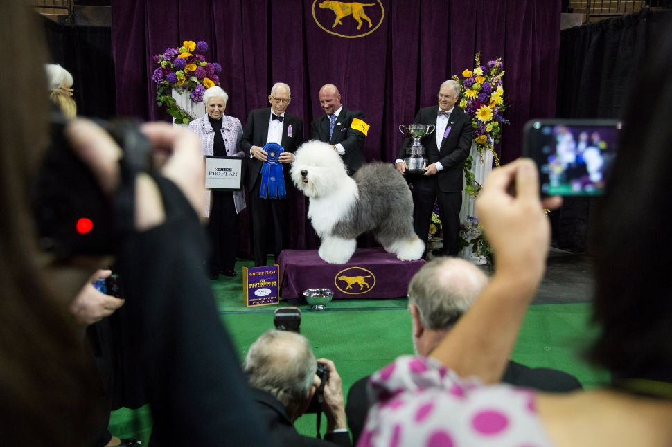 And the Beagle Has It! Miss P. Beats Out Sheep and Water Dogs to Win Westminster