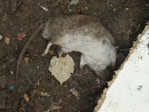 A dead rat at a refugee camp in Germany (Photo: Sean Gallup/Getty Images).