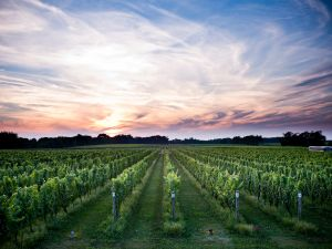 Bedell Vineyard at Dusk W Studios NY