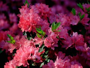 AUGUSTA, GA - APRIL 09: Azaleas are seen during the first round of the 2015 Masters Tournament at Augusta National Golf Club on April 9, 2015 in Augusta, Georgia. (Photo by Jamie Squire/Getty Images)