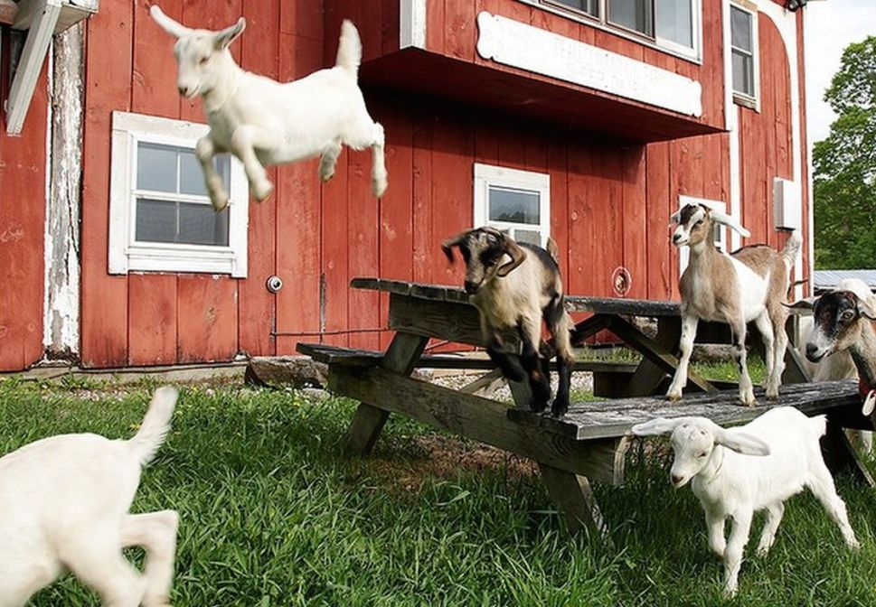 Big Picture Farm: For Gooey Caramels, Fresh Cheeses and Endless Baby Goat Selfies