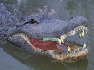 Hamilton Nolan is not an alligator, but this is his Twitter photo.