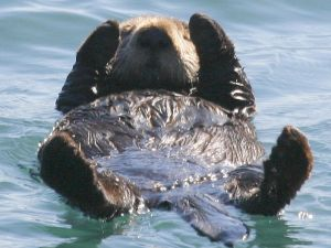 Sea Otter, Morro Bay Estuary, Morro Bay, CA. (Photo: Mike Baird, WikiCommons)