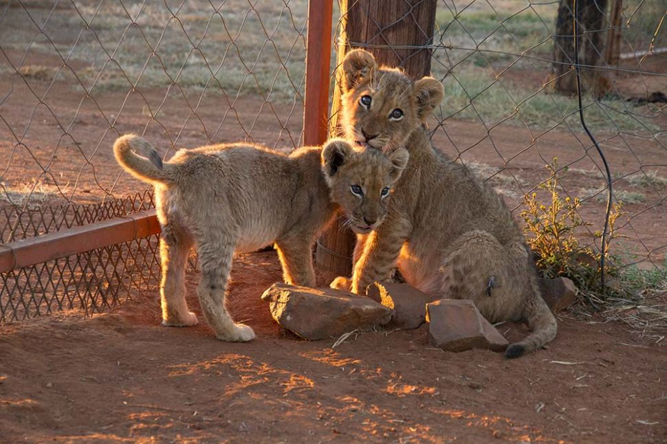 The Dark World of Canned Lion Trophy Hunting