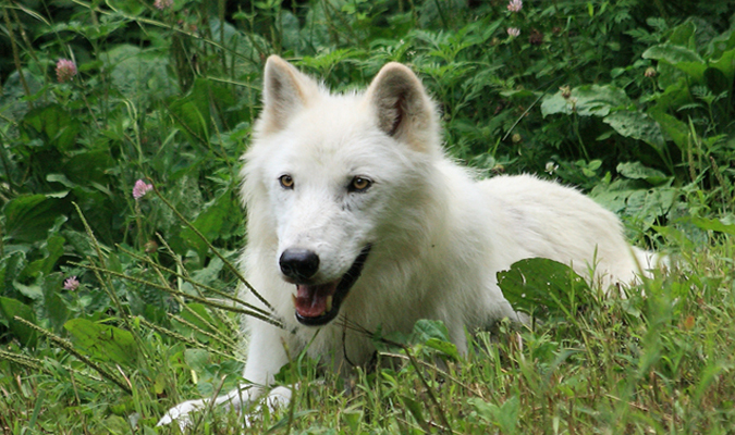 Watch Wolves Roam In Marshy Woods on the Wolf Conservation Center's LIVE Wolf Cam