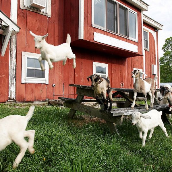 Superfine Foods (And Baby Goats)
