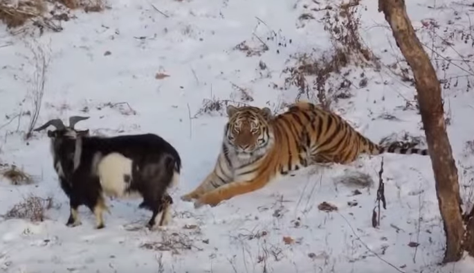 Russia's Collective 'Awwww' Over Siberian Tiger and the Goat He Won't Eat