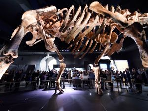 The Titanosaur, the largest dinosaur ever displayed at the American Museum of Natural History, is unveiled at a news conference January 14, 2016 in New York.