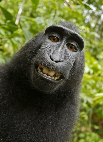 Monkey See? PETA in Rights Battle Over Adorable Chimp Selfies