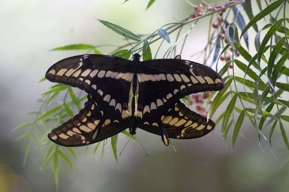 How Saving an Endangered Butterfly Helped Avert a Health Crisis