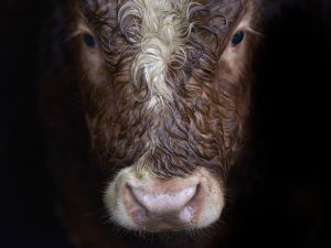 A grass fed yearling bull on Raymond Palmer's beef cattle farm on January 9, 2015 in Lifford, Ireland.