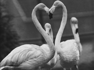 A pair of flamingoes with their heads together at Chessington zoo, 24th December 1958.